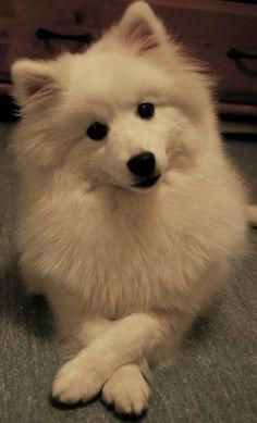 sassy japanese spitz dog - Google Search