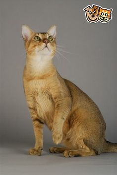 Chausie Cat. This hybrid is a cross between the Jungle Cat and the Abyssinian.