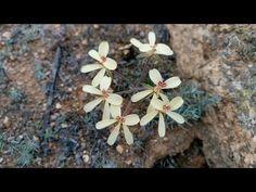 Pelargonium nova horaea sp geophyte