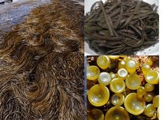 Sea spaghetti, a classic seaweed (sea vegetable) that can be cooked in exactly the same way as spaghetti and is suitable for raw food enthusiasts.