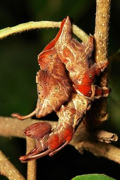 ˚Lobster Moth Caterpillar (Stauropus sp., Notodontidae)