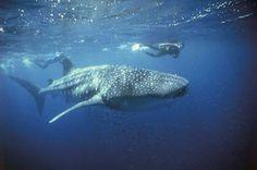 Swim with Whale Sharks at Ningaloo Reef, Western Australia. #oz #western_australia