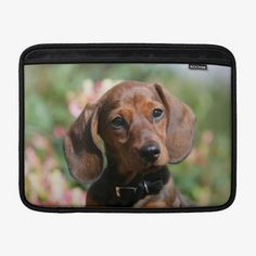 Shop Tan Miniture Dachshund MacBook Sleeve created by boblangrishimages. Dachshund Quotes, Dachshund Funny, Dachshund Shirt, Dachshund Love, Dapple Dachshund Puppy, Dachshund Puppies For Sale, Long Haired Dachshund, Memes Humor, Macbook Sleeve