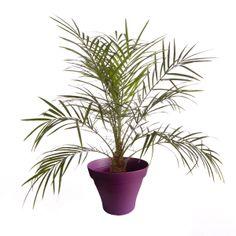 Petit palmier phoenix avec cache pot violet