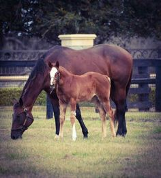 A updated picture of the American Pharoah - Carriage Trade filly. Photo credit: Haras Los Samanes 2018, 2nd crop