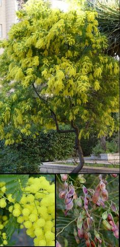 nc: Acacia dealbata, nv: Aromo francés