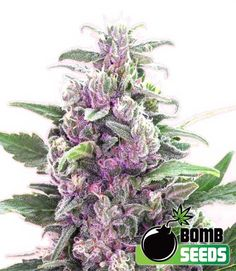 THC Bomb AUTO Feminised Seeds by the cannabis breeder Bomb Seeds, is a…