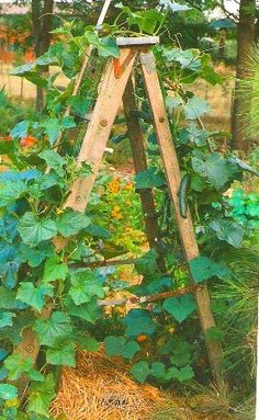 In order to keep cucumbers off the ground, you can use an old 6-foot ladder. This also provides support for the growing plants. Grandma's antique ladder in my garden... I like this!