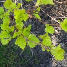 Green leaves unfurling