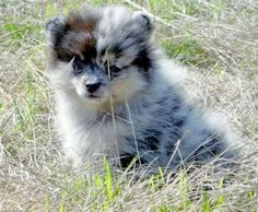 I would LOVE to have a Blue Merle pomeranian to be Meeko's next sibling