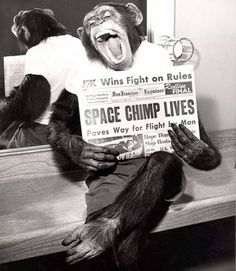 Daily Sanctuary - Space chimp lived - Ham the Chimp, also known as Ham the Astrochimp, was the first Hominidae to take a space flight. He was named after the Holloman Aerospace Medical Center in New Mexico. He was launched from Cape Canaveral on January 31, 1961 and returned to Earth unharmed except for a bruised nose.
