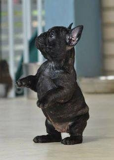 Black French bulldog puppy standing on its hind legs