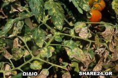 Αναγνωρίστε τις Ασθένειες της Ντομάτας και Αντιμετωπίστε τες με Βιολογικό Τρόπο! - share24.gr Sprouts, Stuffed Peppers, Vegetables, Plants, Stuffed Pepper, Vegetable Recipes, Plant, Stuffed Sweet Peppers, Veggies