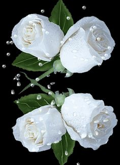 Blanc ... roses blanches                                                                                                                                                                                 Plus