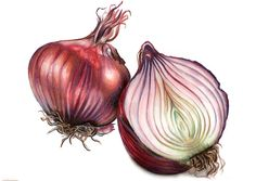 Eight botanical-style illustrations to be used on menus, signage, and business cards for a London restaurant brand. Eight botanical-style illustrations to be used on menus, signage, and business cards for a London restaurant brand. Botanical Drawings, Botanical Art, Watercolor Fruit, Watercolor Paintings, Watercolours, Onion Drawing, Fruit Sketch, Vegetable Painting, Food Tattoos