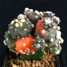 Astrophytum Asterias Variegate RARE Cactus Plant cacti Ariocarpus 1516 | eBay