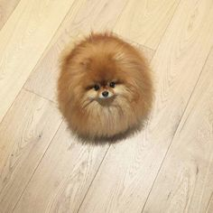 Pomeranian Puppies: Cute Pictures And Facts - Animales ❤️=) - Teacup Puppies, Cute Puppies, Cute Dogs, Dogs And Puppies, Animals And Pets, Funny Animals, Cute Pomeranian, Cute Little Animals, Baby Dogs