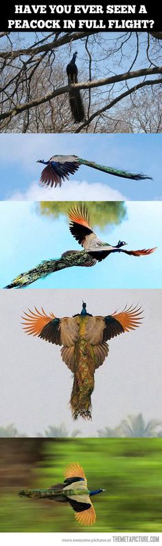 wtf, peacocks can *fly*? I...I never realized. (Still think they're terrifying, though.)
