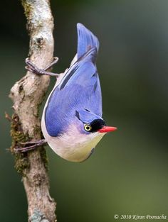 Velvet-Fronted Nuthatch (Sitta frontalis) found in South Asia from Pakistan and India to South China and Indonesia, preferring to breed in open evergreen forests.