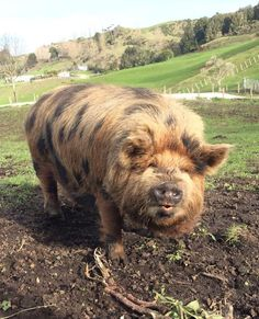 Kune Kune Pig Mama loves these guys . Don't you just want to give this fluffy spotted pig a kiss on its cute little snout? Cute Baby Animals, Farm Animals, Animals And Pets, Funny Animals, Cute Baby Pigs, Mini Porcs, Kune Kune Pigs, Pot Belly Pigs, Cute Piggies