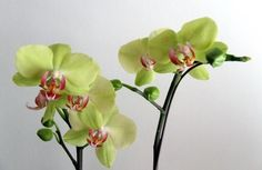 Learn how to trigger reblooming of your orchids.