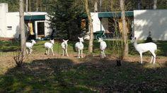 Witte Herten in Meerdal