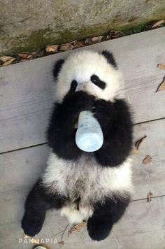 🐼 Panda Funny, Cute Panda, Cute Little Animals, Cute Funny Animals, Baby Panda Bears, Baby Pandas, Animal Pictures, Cute Pictures, Funny Panda Pictures