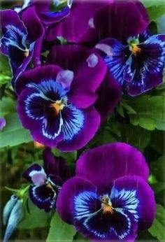 """Pansies include the colorful flowers with """"faces."""" Some sort of cool-weather favored, pansies are ideal for both equally spring as well as autumn home gardens! Beautiful Rose Flowers, Unusual Flowers, Flowers Nature, Amazing Flowers, Purple Flowers, Beautiful Flowers, Blue Orchids, Colorful Flowers, Orquideas Cymbidium"""