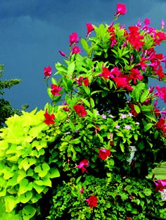 Overflowing red Mandevilla and sweet potato vine