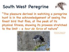 We have been blessed with many a remarkable creature in our country. None more so than #Peregrine #Falcon #Cornwall pic.twitter.com/aOL0GVpX0u