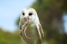 Barn Owl: the ultimate mouse trap