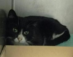 CURRANT - A1097280 - - Brooklyn  Please Share:***TO BE DESTROYED 11/22/16*** CURRANT IS HEALTHY AND IS WANTING OUT OF THE ACC TONIGHT! TUXIE GIRL NEEDS A HOME FOR THE HOLIDAY! -  Click for info & Current Status: http://nyccats.urgentpodr.org/currant-a1097280/