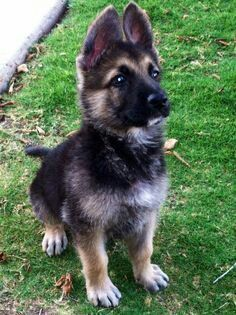 What a Handsome little German Shepherd