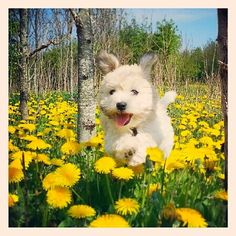 Eddie, the adorable Coton de Tulear puppy, frolicking in the flowers!  Congrats to @cathrinetandteknik & thanks for posting!