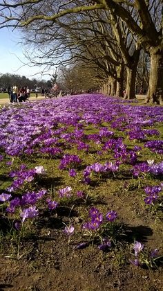 [OC] Crocus Carpet in Kasprowicza Park Poland Szczecin Landscape Photographers, Adventure Travel, Poland, Natural Beauty, Vineyard, Oc, Scenery, Carpet, Colorful