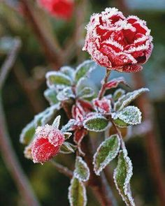 Frozen Beauty.