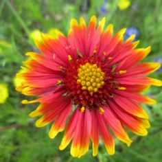 Indian blanket flowers are lining the highways right now. Indian blanket flowers are lining the high Claude Monet, Flowering Plants In India, Indian Blanket Flower, Indian Blankets, Clown Faces, Garden Pictures, Blue Bonnets, Garden Spaces, Watercolor Flowers