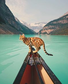 Meet 8 of the World's Most Adventurous Cats! http://www.styletails.com/2017/10/03/meet-8-of-the-worlds-most-adventurous-cats/