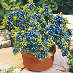 who knew? blueberries thrive in container gardens! I didn't know