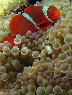 Clownfish on Sea Anemone