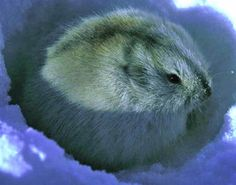 Collared lemming feeds on grasses, sedges and other green vegetation in summer, and twigs of willow, aspen and birches in winter. Arctic Hare, Arctic Animals, Cute Animals, Lynx, Arctic Lemming, Animal Alphabet, Little Critter, Fauna, Rodents