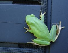 Green Tree Frog-1