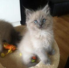 mooie Blue Mink Ragdoll kater - Katten en Kittens   Raskatten   Langhaar