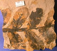 Neuropteris from the Carboniferous