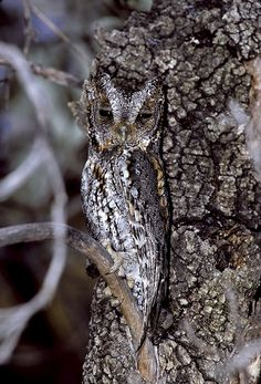 Flammulated Owl (Otus flammeolus) at roost. Photo by Rick & Nora Bowers. Chiricahua Mountains, Arizona