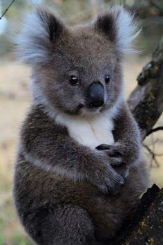I want one! Love koalas