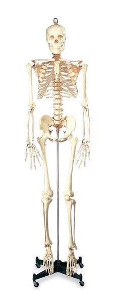 Budget Bucky Skeleton Model - Anatomy Models and Anatomical Charts