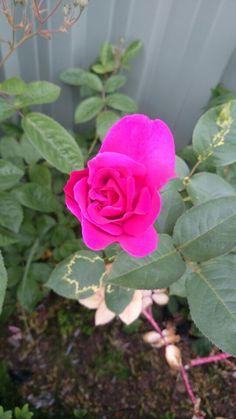 Pink rose Dad's garden