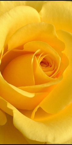 Yellow Rose - every time I see a yellow rose, I miss my Mom.