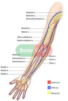 Anatomy of the Nerves, Arteries and Veins of the Arm (Upper Extremity) Nerve Anatomy, Arm Anatomy, Gross Anatomy, Muscle Anatomy, Body Anatomy, Upper Limb Anatomy, Arm Veins, Arteries Anatomy, Student Nurse
